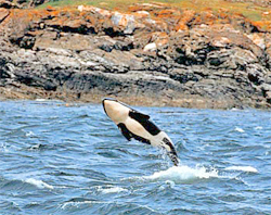 Orca San Juan Islands USA BR